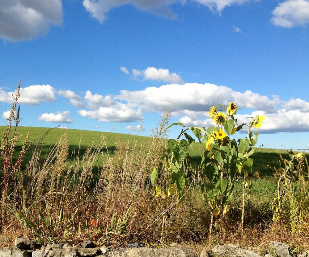 Sunflowers, blue sky and rolling hills Warwick, NY