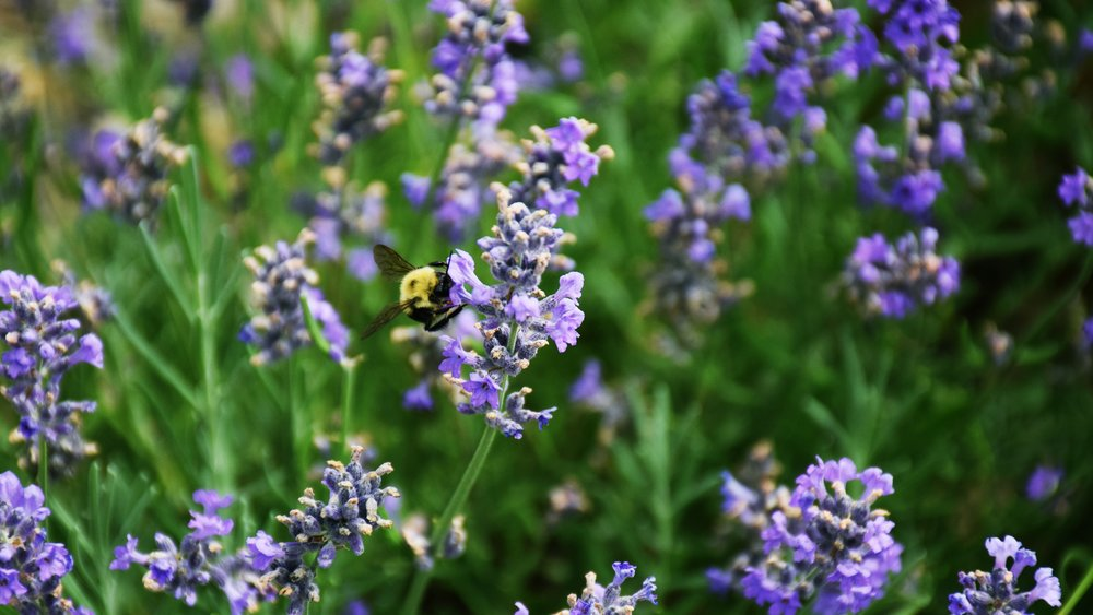 A bumblebee drinks nectar from a lavender flower at Gardenaire