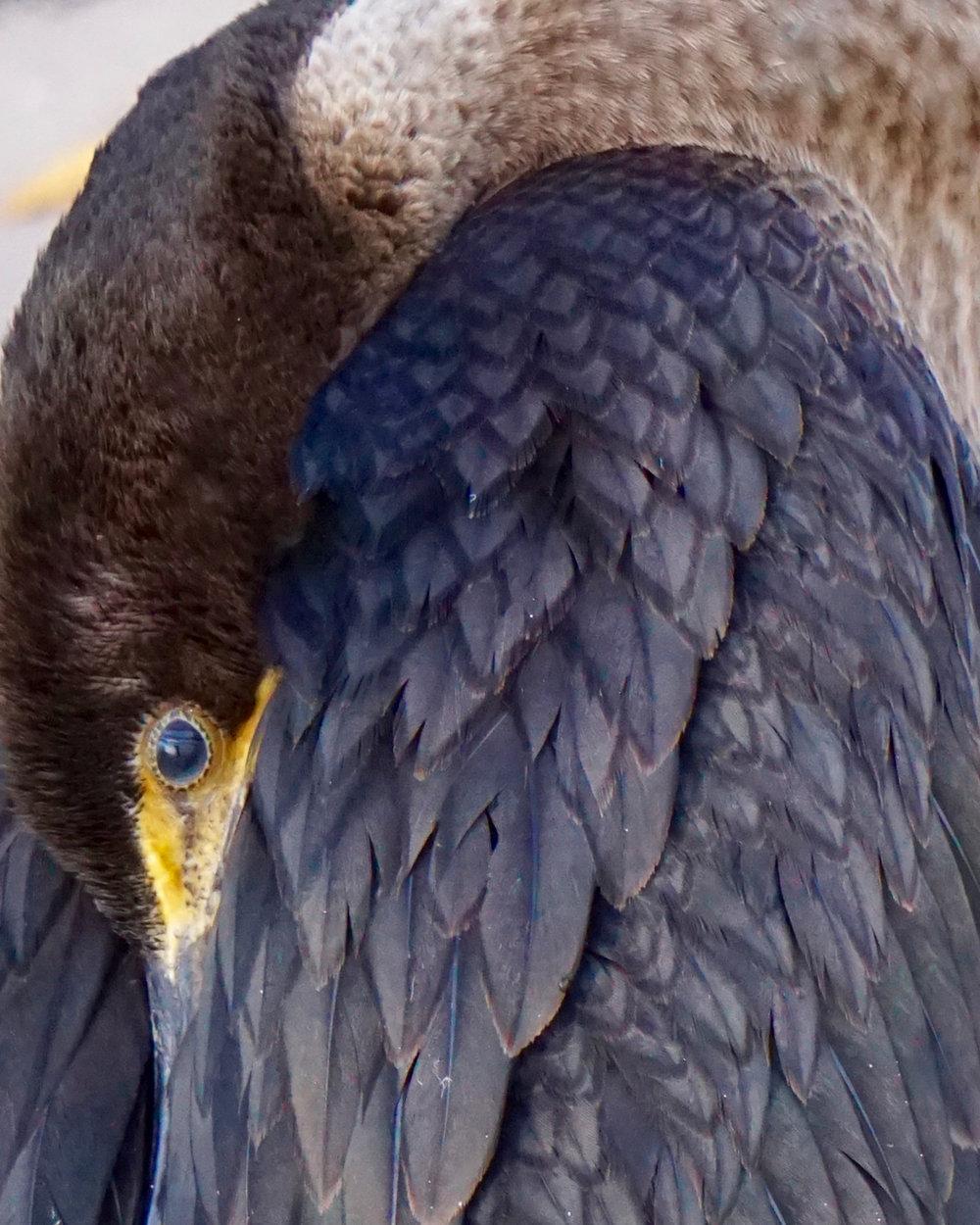 Cormorant - Ann Matousek