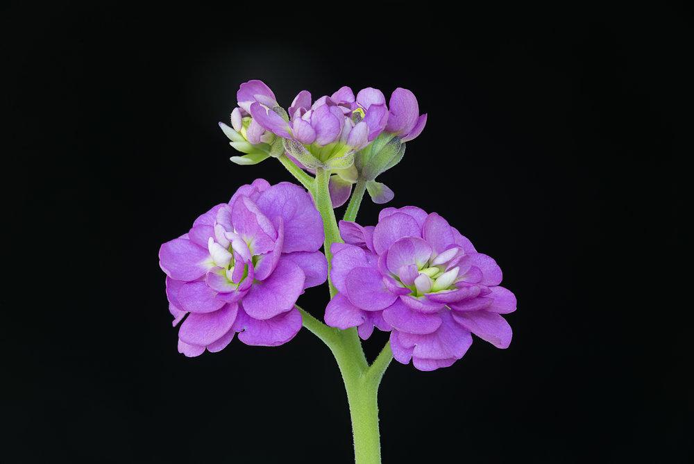 Fragrant Stock Flowers