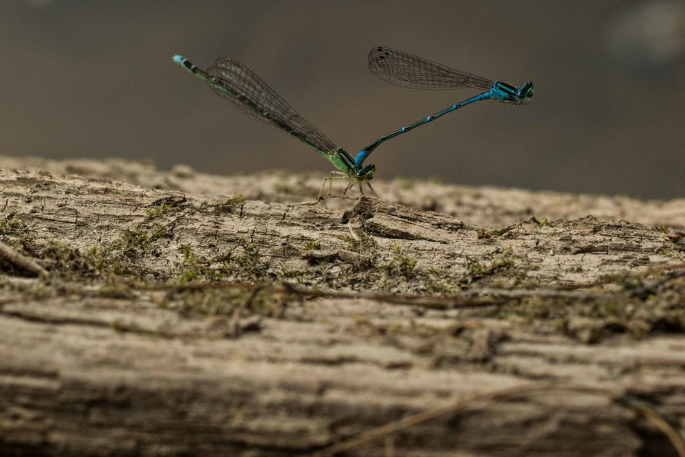1st place - Dragonflies - John Crowley
