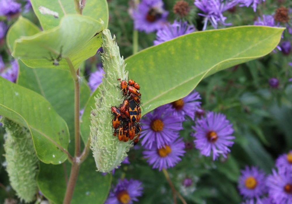 Bugs on Milkweed2 - Carl Wagner