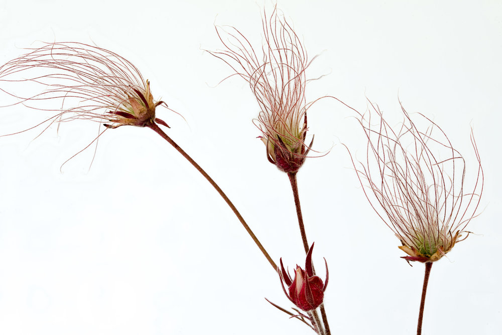 Nature - Prairie Smoke Seeds - Phyllis Bankier