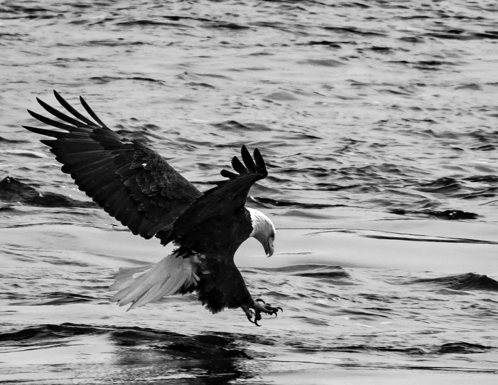 Nature - Mississippi River Eagle - Gary Peel