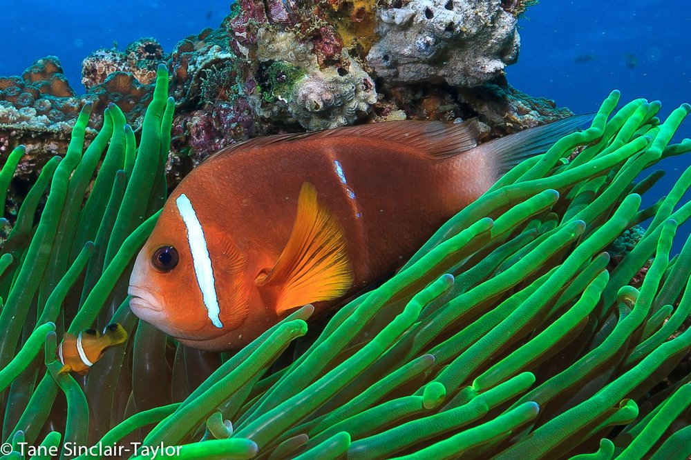 Juveniles of the Omani clownfish,   Amphiprion omanensis ,  can travel up to 400 km's. Image ©Tane Sinclair-Taylor