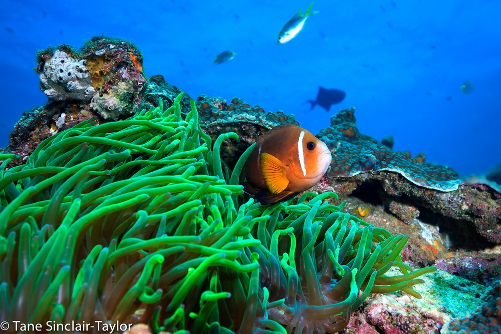 Anemone fish ( Amphiprion omanensis ) endemic to the southern Omani coast, Picture by Tane Sinclair-Taylor