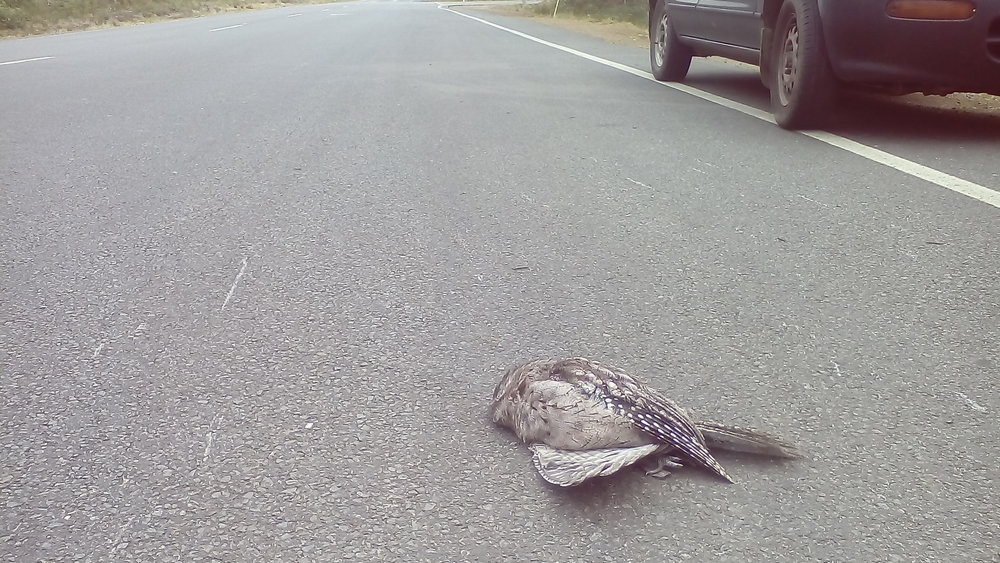 Boobook Owl hit by car on South Arm Road, Sandford. Photo by Peter McGlone