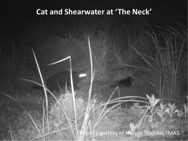 Cat about to attack a shearwater at the Bruny Island neck. This image also appears at the top of the article. Photo courtesy of Haruhi Wabiko, IMS