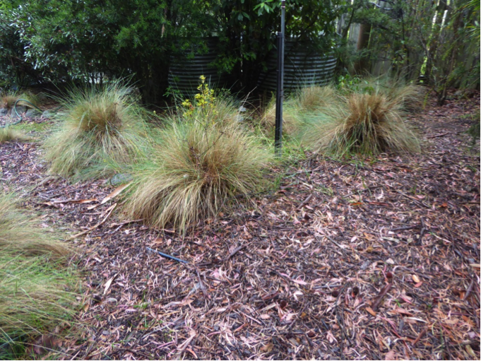 Another example of open lawn adjacent to thick sheltering vegetation or retaining understory vegetation provides ideal habitat and protection for bandicoots. Photo   by Kaylene Allan