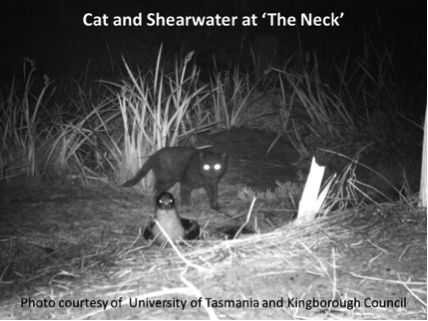 "Cat and Shearwater at 'The Neck"" Photo courtesy of the University of Tasmania and Kingborough Council."