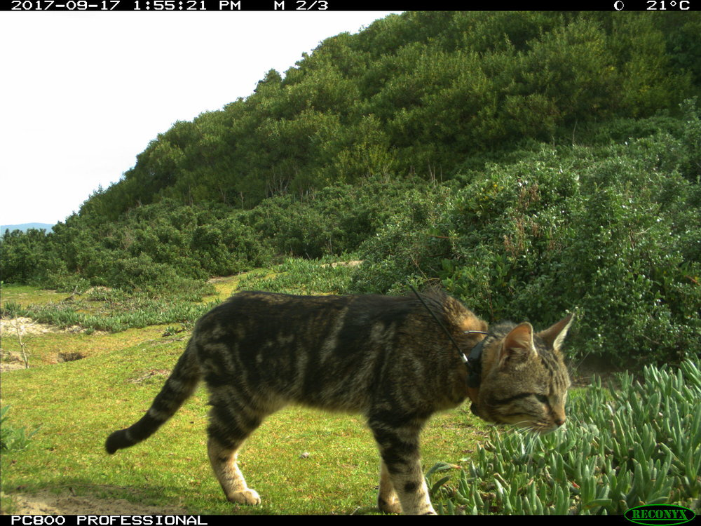 Feral Cat with GPS collar. Photo courtesy of DPIPWE, Invasive Species Branch.