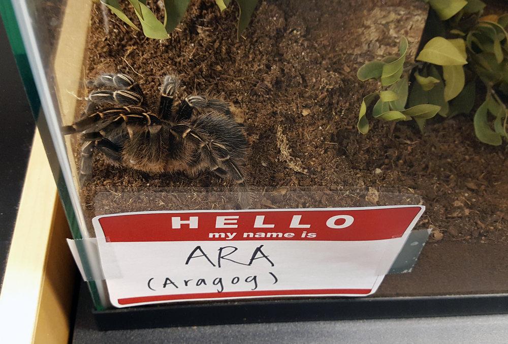 Our lab pet, ara