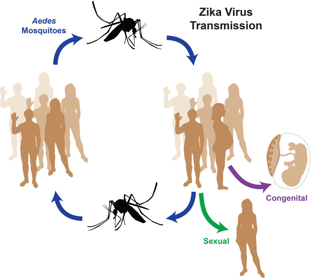 zika virus is transmitted to humans by mosquitos but uniquely among the flaviviruses, zikv also is transmitted by sexual and congenital routes