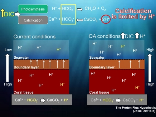 The Proton Flux Hypothesis visual representation by K. Bahr.    All rights reserved.   As processes, photosynthesis and calcification compete for dissolved inorganic carbon (DIC). Corals uptake DIC as bicarbonate (HCO3-) to form calcium carbonate (CaCO3) with a proton (H+) as a waste product. This proton must then be removed from the coral to prevent acidosis inside the tissues. The protons are dissipated through the boundary layer into the bulk seawater by diffusion from high to low concentrations. Under ocean acidification (OA) conditions, more DIC is available however coral calcification is limited by the increasing concentration of protons in the bulk water due to OA.