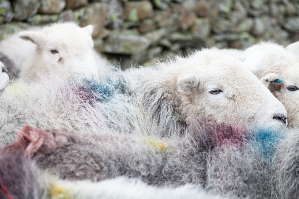 Herdwick sheep for Delicious Magazine