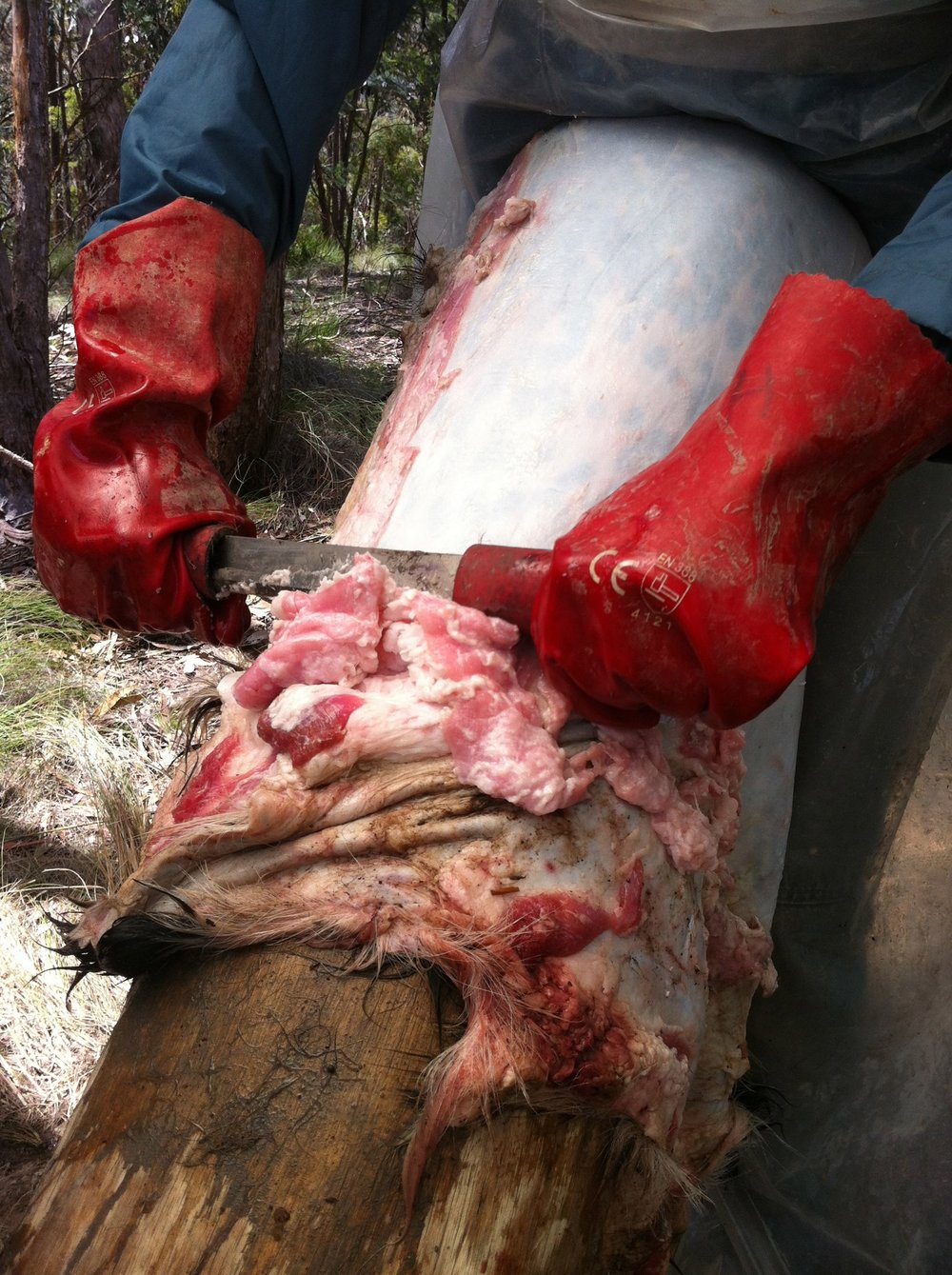 Pictured: A participant in a recent workshop wearing sturdy gloves to protect any open cuts as they remove the flesh off of a goat hide.