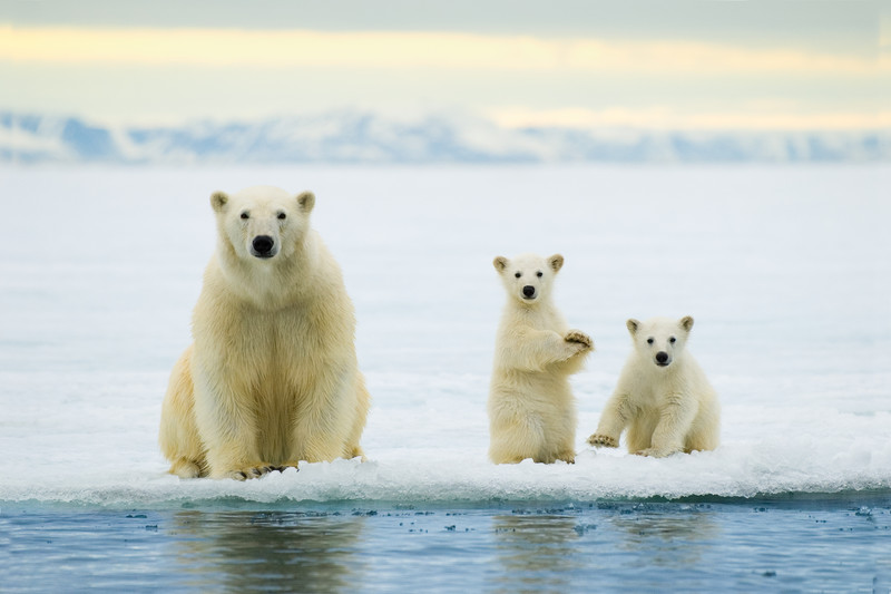 Polar bears, Photo: Wayne Lynch © Parks Canada