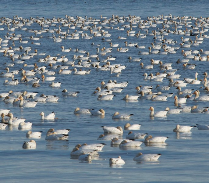 Snow Geese at Cap Tourmente National Wildlife Area Photo: Chantal Lepire © Environment and Climate Change Canada