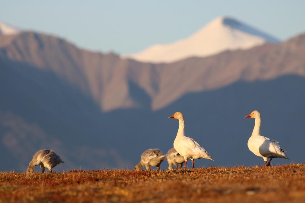 Oies des neiges dans le refuge d'oiseaux migrateurs de l'île Bylot. photo : Christian Marcotte © Environnement et Changement climatique Canada