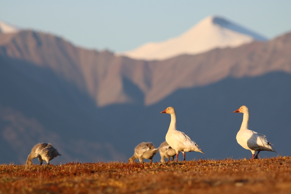 Snow Geese at Bylot Island Migratory Bird Sanctuary, Nunavut. Photo: Christian Marcotte © Environment and Climate Change Canada