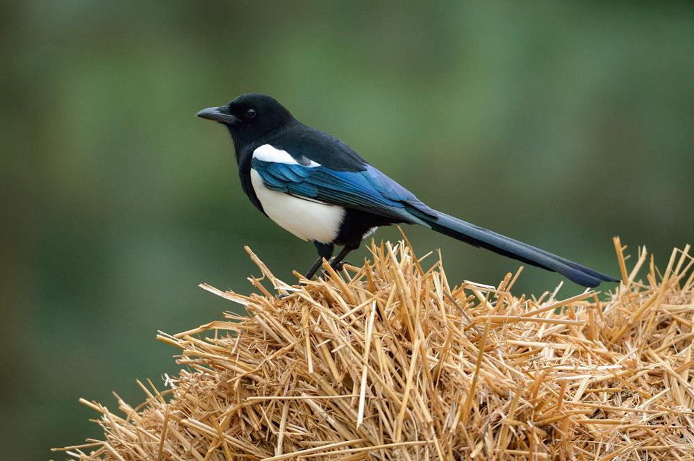 magpie power animal