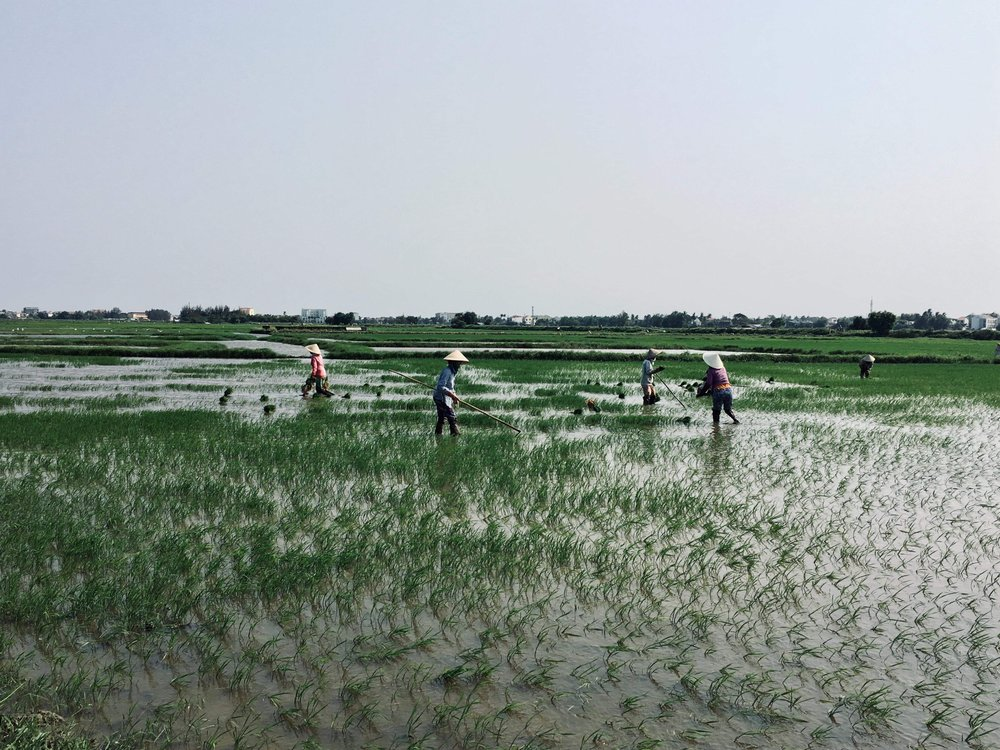 Locals working in rice fields in the countryside of Hoi An, Vietnam