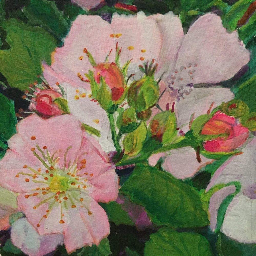 Pasture rose 2016