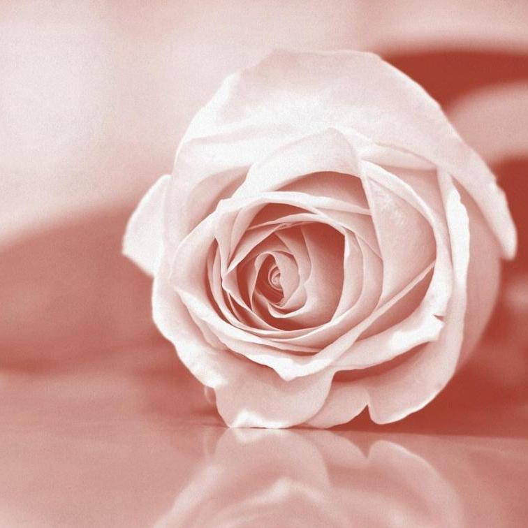 standards_pink_rose.jpg