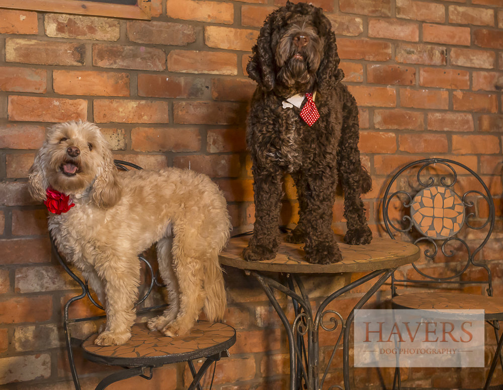 Labradoodles on a table and chair not behaving in the workplace!