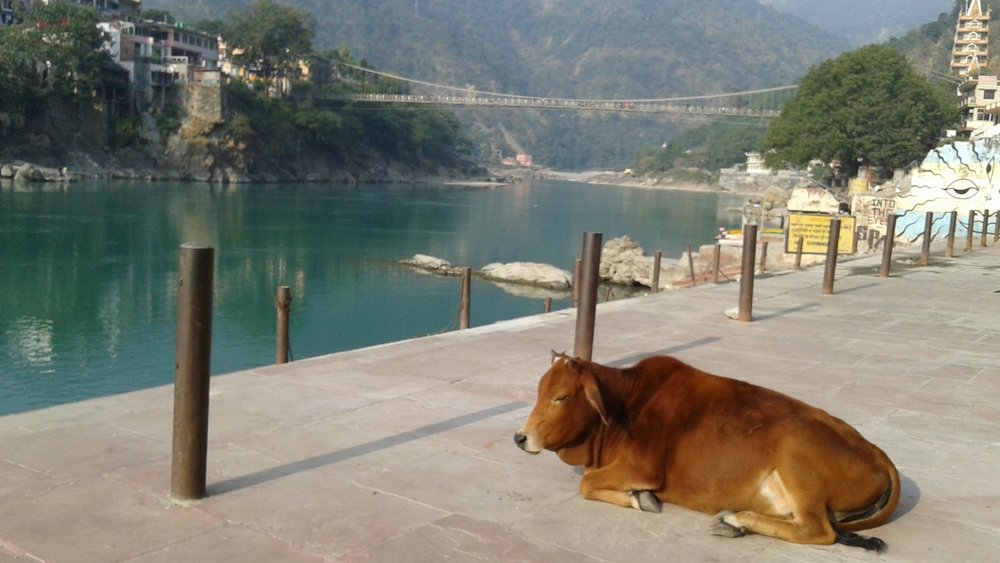 Peaceful cow on Ghatt, RIshikesh