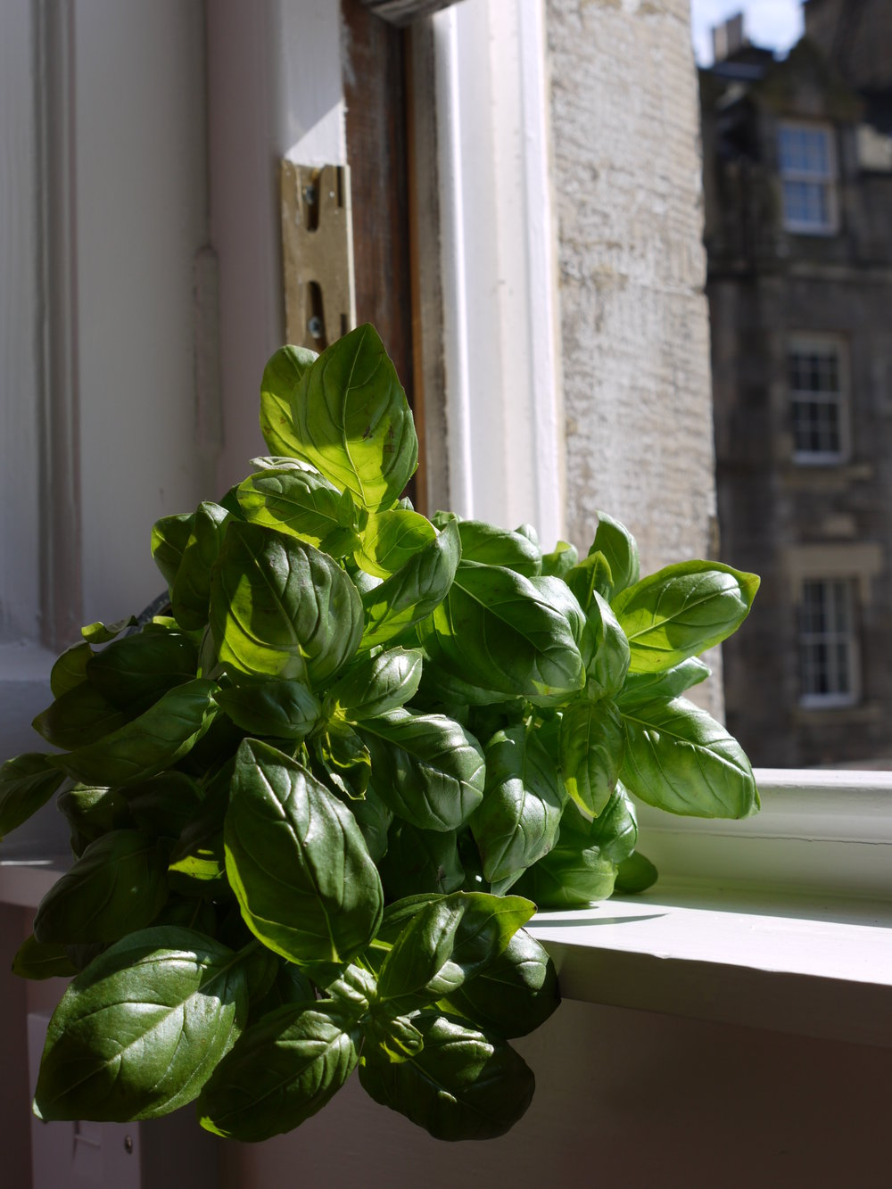 Basil in our Edinburgh window.