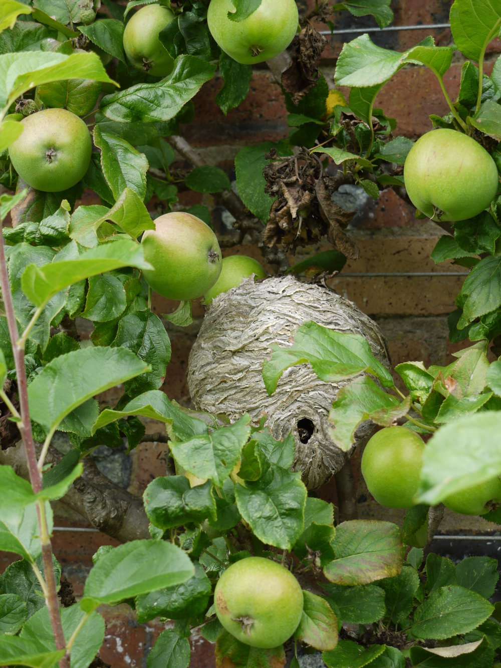 Fresh Scottish Apples & Wasp nest.