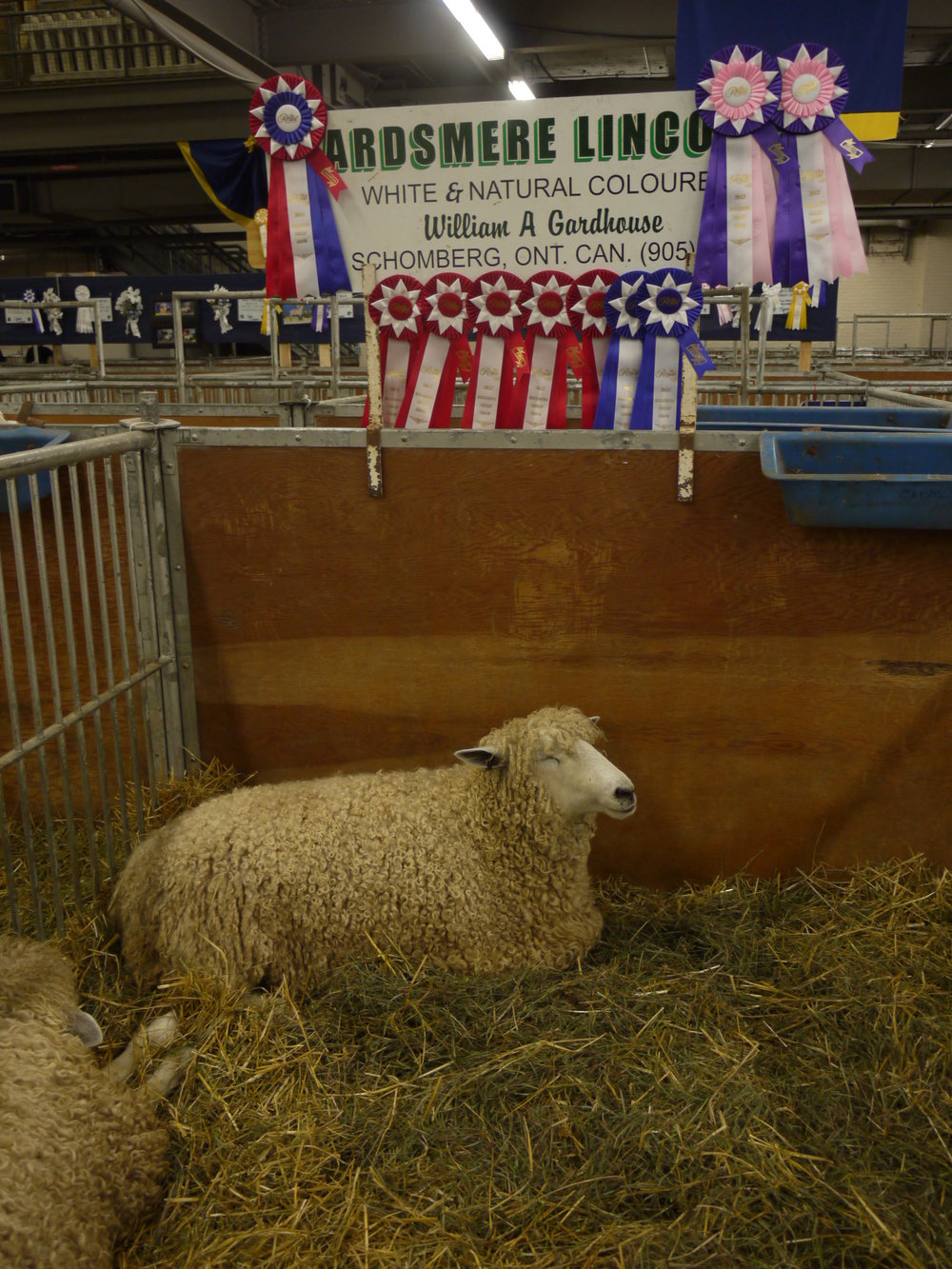 Contented Sheep at the Royal Agricultural Fair, Toronto ON