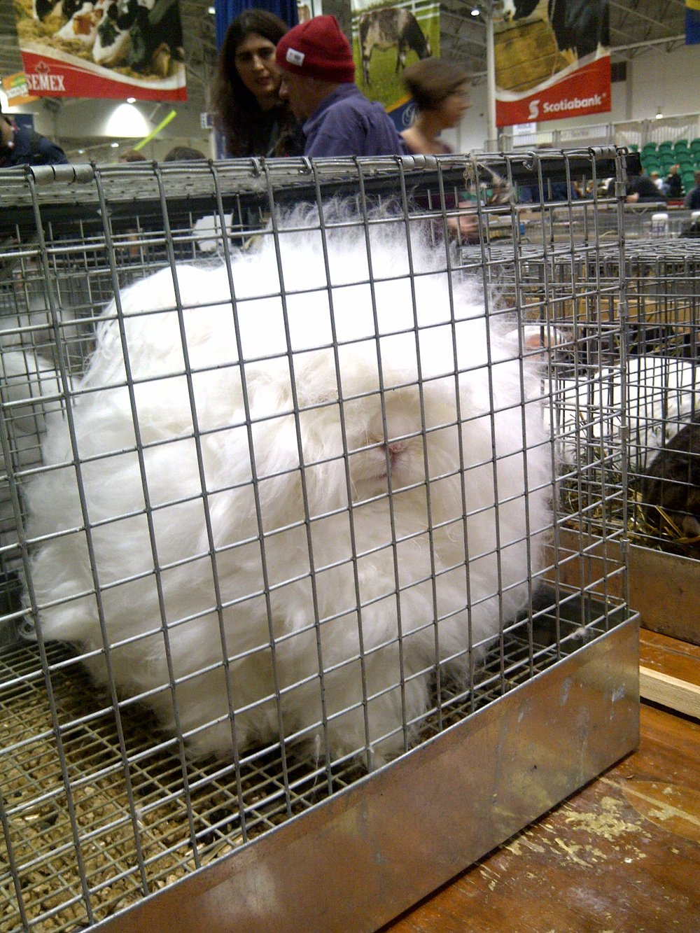 Not the fluffiest Angora bunny at the RAF, Toronto.