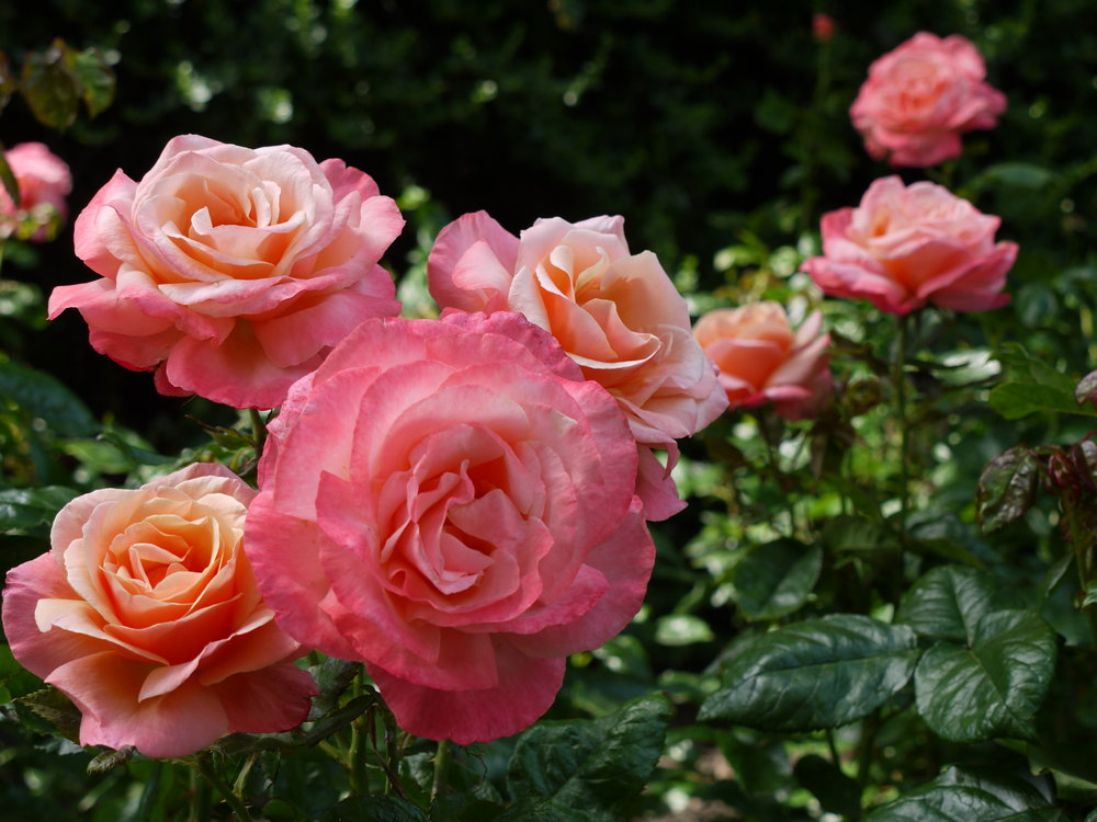 Beautiful roses at the Prince's Garden in Edinburgh, Scotland.
