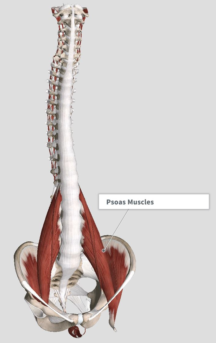 Front view of deep muscles
