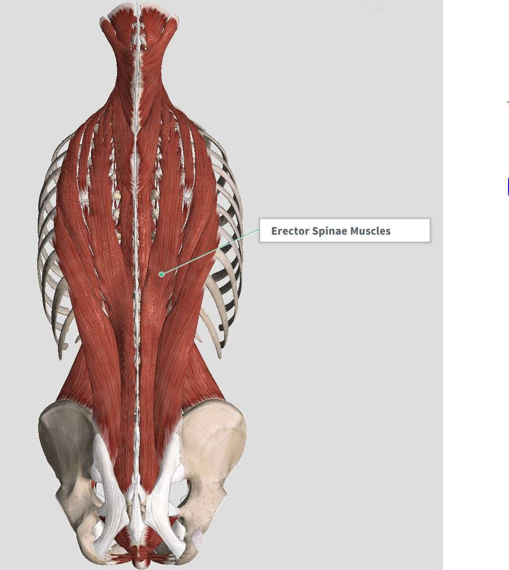 Back view of superficial muscles      Complete Anatomy Version 2.3.7 (4120) (2017) (1)