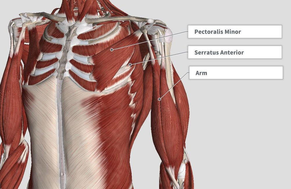 Introduction & Anatomy Thoracic — The Gap Physio