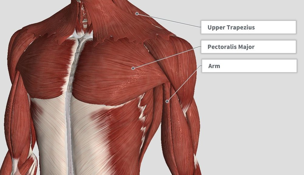 Introduction Anatomy Thoracic The Gap Physio
