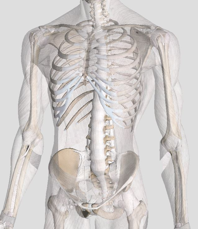 Fascia refers to connective tissue that binds together successive layers of bone and muscles. It helps to add further strength and control to the middle back.  Complete Anatomy Version 2.3.7 (4120), 2017 (1) -