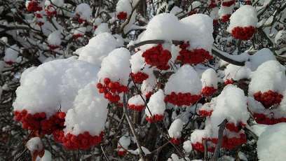 snow-berries-2a.jpg