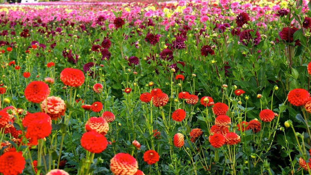 field of dahlias.jpg