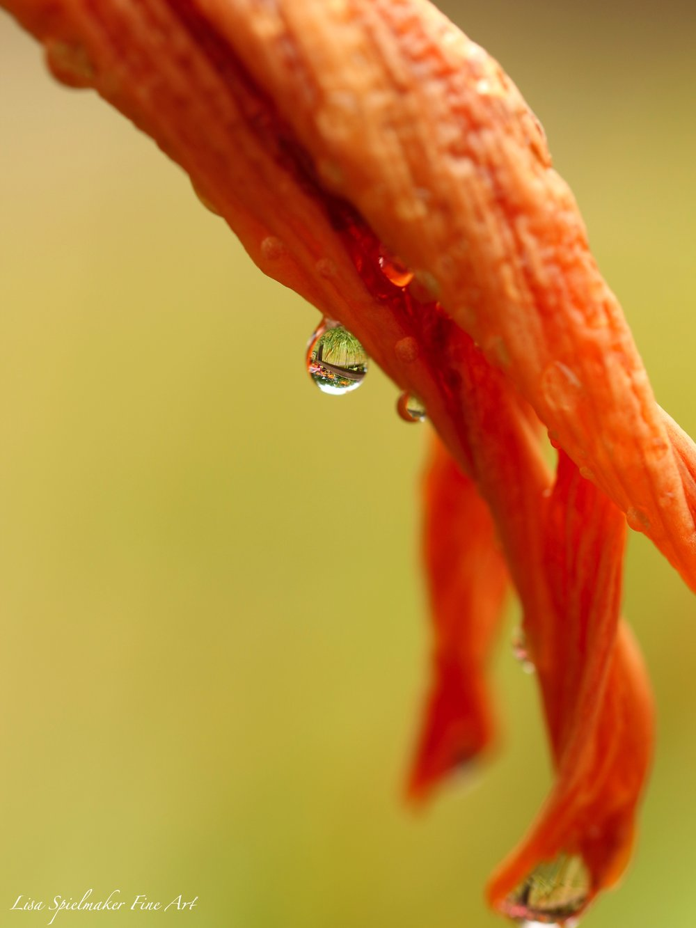 Orange lily with water drop.jpg