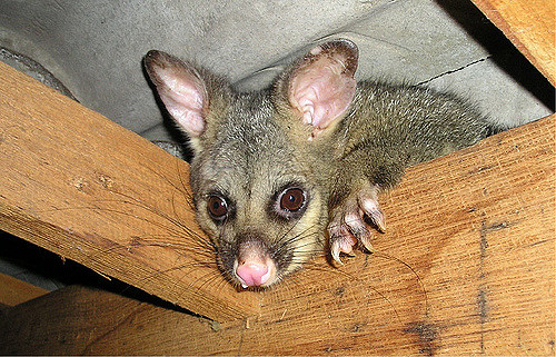 A possum making its home in a roof cavity.