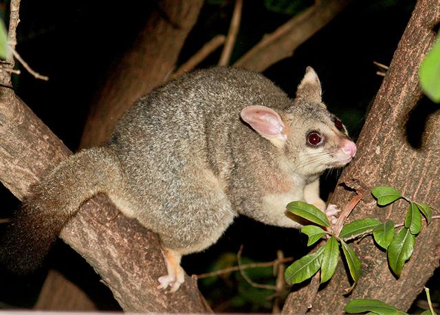 Common Brushtail Possum.