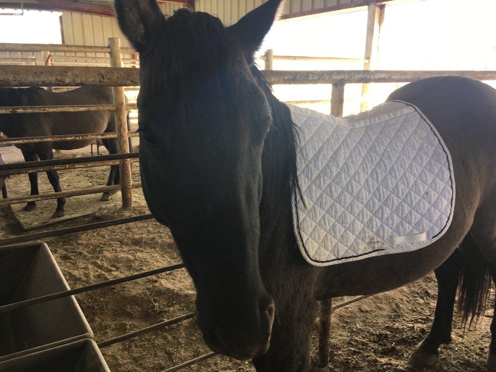 Dakota's first saddle pad