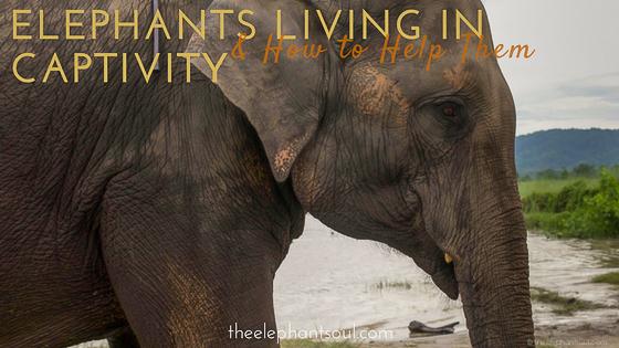 Captive_Elephants_Chitwan_Nepal.jpg