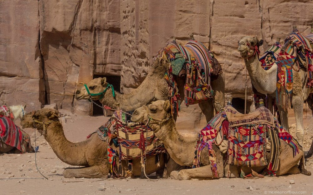 These camels, as well as horses, mules and donkeys are working animals at Petra, Jordan. They are part of the tourist attraction, but the abuse they undergo leave marks on their bodies many times overlooked by visitors.