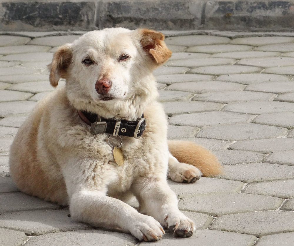 Buddy, a senior rescued dog from Nepal has been my most loving, unconditional and forgiving spiritual teacher.