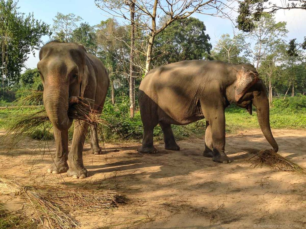 This image was taken during one of the trips we took to  Tiger Tops Elephant Camp  in Chitwan, Nepal. Guess what? These elephants are living happily in retirement. No one rides them. No one chains them.